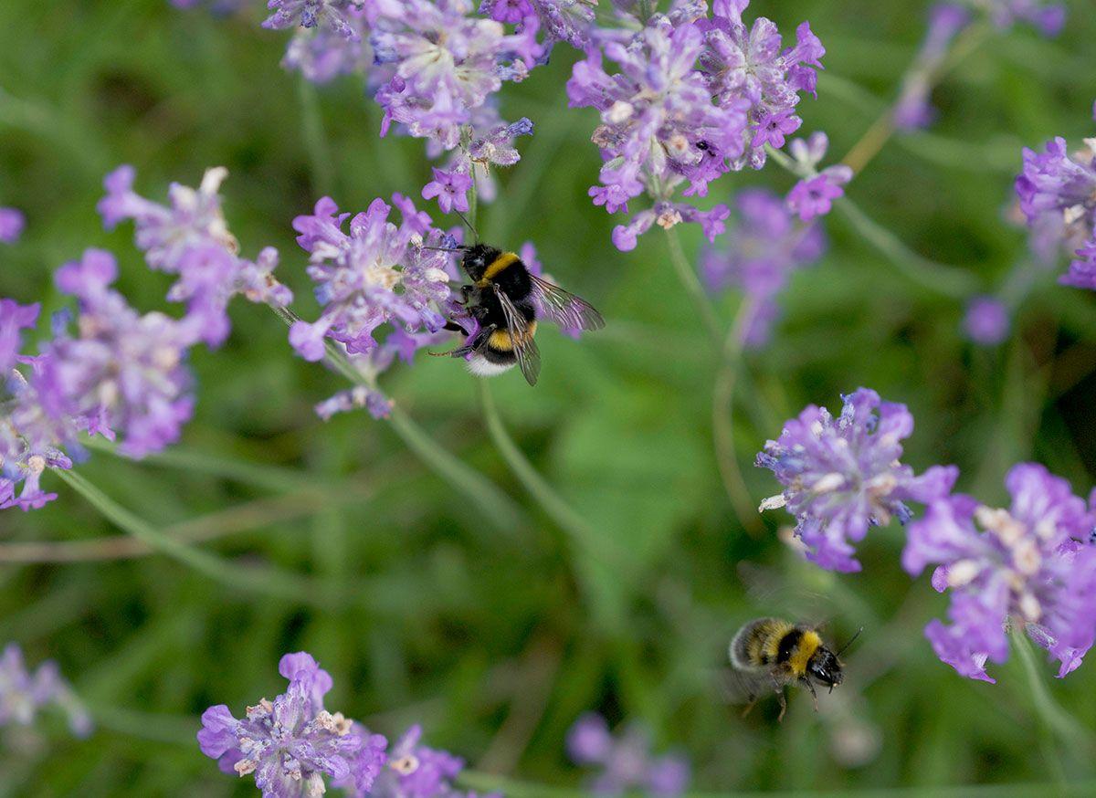 bumblebee pollinateeurope